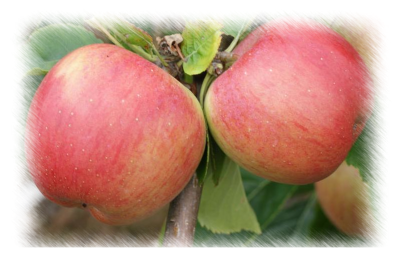Florina Apples